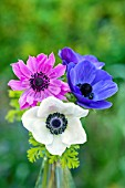 ANEMONE CORONARIA IN A GLASS VASE