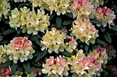 RHODODENDRON PERCY WISEMAN,  WHITE, PINK, FLOWERS, CLOSE UP
