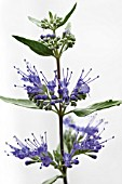 CARYOPTERIS X CLANDONENSIS HEAVENLY BLUE, (AGM)