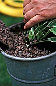 TOP DRESSING A POT WITH GRAVEL,  SNAIL PREVENTION
