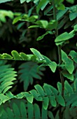 OSMUNDA REGALIS LEAVES WITH WATER DROPS