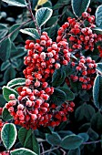 FROST ON COTONEASTER CORNUBIA