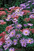 ASTER FRIKARTII MONCH,  BLUE, FLOWERS, WHOLE, PLANT