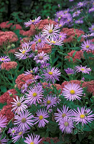 ASTER_FRIKARTII_MONCH__BLUE_FLOWERS_WHOLE_PLANT