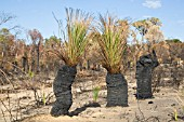 NEW GREEN SHOOTS GROWING OUT OF BURNT NATIVE WESTERN AUSTRALIAN XANTHORRHOEA GRASS TREES AFTER A BUSHFIRE