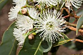 CORYMBIA CALOPHYLLA FLOWER IN FULL GLORY - EUCALYPTUS CALOPHYLLA