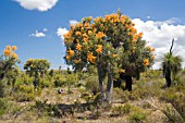 WESTERN AUSTRALIAS NUYTSIA FLORIBUNDA IN FULL FLOWERING GLORY. KNOWN LOCALLY AS THE WA CHRISTMAS TREE