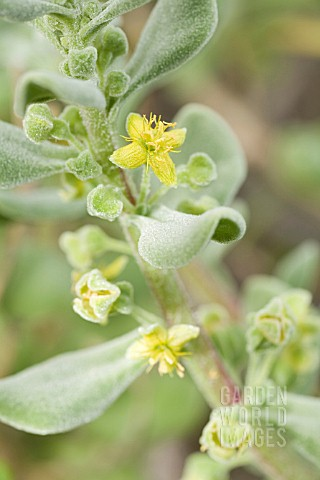 NATIVE_SOUTH_AFRICAN_TETRAGONIA_DECUMBENS_IN_FLOWER_A_WEED_IN_AUSTRALIAN_COASTAL_ZONES