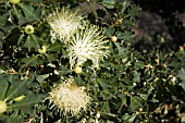 NATIVE WESTERN AUSTRALIAN BANKSIA SESSILIS IN FLOWER, COMMONLY KNOWN AS PARROT BUSH