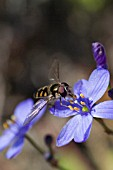 AUSTRALIAN SYRPHIDAE FAMILY HOVERFLY ON A CHAMAESCILLLA GENUS NATIVE WILDFLOWER