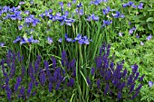 COLOUR THEMED BLUE BORDER WITH IRIS SIBIRICA WORTH-THE-WAIT AT WOLLERTON OLD HALL