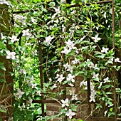 CLEMATIS MONTANA CLINGS TO A WROUGHT IRON GATE AT WOLLERTON OLD HALL