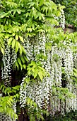 OLD IRON WATER FEATURE WITH WISTERIA SINENSIS ALBA, GROWING ON WALL IN FONT GARDEN AT WOLLERTON OLD HALL