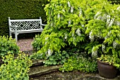 TERRACED SEATING AREA WITH ALCHEMILLA MOLLIS AND WISTERIA SINENSIS ALBA AT WOLLERTON OLD HALL