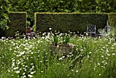 IN THE CENTRE OF THE GARDEN IS AN ANCIENT FONT WITH LEUCANTHEMUM VULGARE PLANTED AROUND, AT WOLLERTON OLD HALL