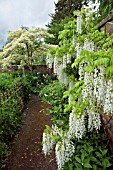 WISTERIA SINENSIS ALBA AT WOLLERTON OLD HALL