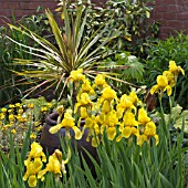 IRIS WITH PHORMIUM WINGS OF GOLD IN CONTAINER AT WOLLERTON OLD HALL