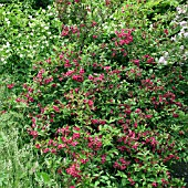WEIGELA BRISTOL RUBY AT WOLLERTON OLD HALL