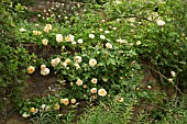 ROSA ALCHYMIST WALL AT WOLLERTON OLD HALL