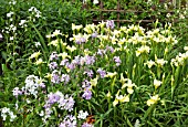 IRIS BUTTER AND SUGAR WITH HESPERIS MATRONALIS LATE SPRING AT WOLLERTON OLD HALL