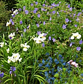 PERENNIALS IN LATE SPRING GERANIUM JOHNSONS BLUE AND IRIS DREAMING YELLOW AT WOLLERTON OLD HALL