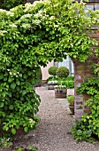 HYDRANGEA PETIOLARIS DRAPES OVER ARCHED WALL AT WOLLERTON OLD HALL