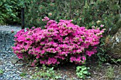 WOODLAND RHODODENDRON HYBRID KURUME AZALEA SHERWOOD ORCHID AT CONWY VALLEY MAZE