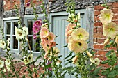 ALCEA ROSEA AT WOLLERTON OLD HALL