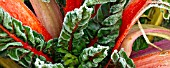 FROSTED LEAVES AND STEMS OF RED SWISS CHARD