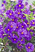 SOLANUM RANTONNETII ROYAL ROBE