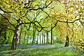 DECIDOUS WOODLAND WITH ENGLISH BLUEBELLS AND BEECH TREES IN LATE SPRING