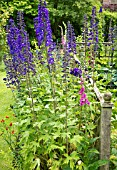 DELPHINIUM MAGIC FOUNTAIN DARK BLUE WITH WHITE BEE, AT YARLET HOUSE STAFFORDSHIRE