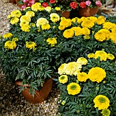 TAGETES PATULA PERFECTION (AFRICAN MARIGOLD)