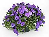 VIOLA BALCONITA PURPLE, (TRAILING PANSY BALCONITA PURPLE)