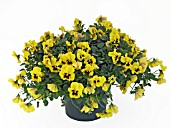 VIOLA BALCONITA YELLOW, (TRAILING PANSY BALCONITA YELLOW)