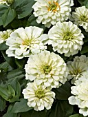 ZINNIA ELEGANS MAGELLAN IVORY (YOUTH AND OLD AGE)