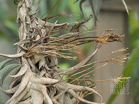BROMELIAD_AERIAL_ROOTS_OF_TILLANDSIA_EDITHAE