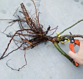 PRUNING DAMAGED CANE OF BARE-ROOT ROSE