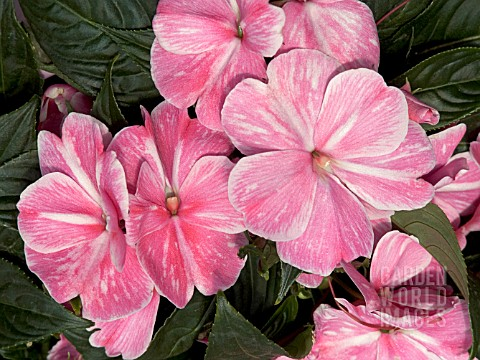 IMPATIENS_NEW_GUINEA_SONIC_PINK