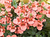 DIASCIA FLYING COLOURS APRICOT