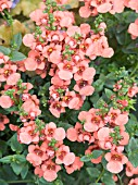 DIASCIA FLYING COLOURS APRICOT,  TWINFLOWER.