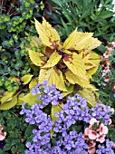 COLEUS PINEAPPLE WITH NEMESIA BLUBIRD AND DIASCIA APRICOT