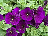 PETUNIA SUPERTUNIA BLUE VIOLET