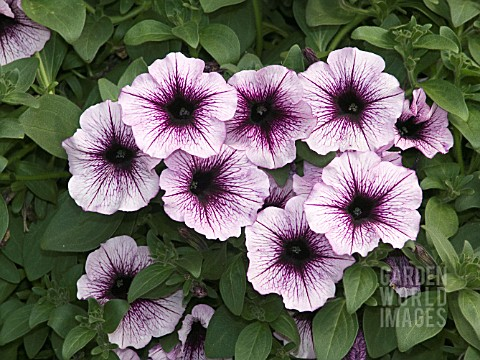 PETUNIA_SUPERTUNIA_BORDEAUX