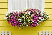 WINDOW BOX WITH ASTORIA PINK AND ASTORIA WHITE PHLOX, VIOLINA YELLOW VIOLETS