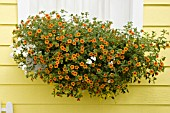 WINDOW BOX WITH CALIBRACHOA TANGERINE, MILLION BELLS, ASTORIA WHITE PHLOX, VIOLINA YELLOW VIOLETS