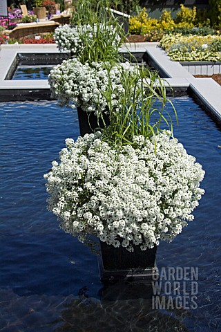 LOBULARIA_SNOW_PRINCESS_AND_CYPERUS_PAPYRUS_BABY_TUT_ON_COLUMN_IN_REFLECTING_POOL