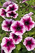 PETUNIA GLOW DARK PURPLE VEIN