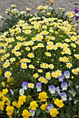ARGYRANTHEMUM FRUTESCENS SOLE MIO IMPROVED WITH VIOLA WILLIAMSII VELOCITY BABY BLUE AND VIOLA VELOCITY MIMOSA YELLOW