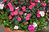 IMPATIENS OVATION CHERRY PINK, (NEW GUINEA HYBRID IMPATIENS)